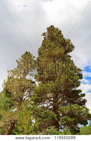 Pine Tree And Cloudy Sky