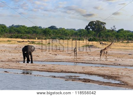 Elephants And Giraffes Drinking At Waterhole