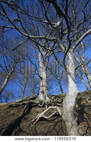 Beech Tree And Roots