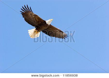 Bald eagle flying on blue sky