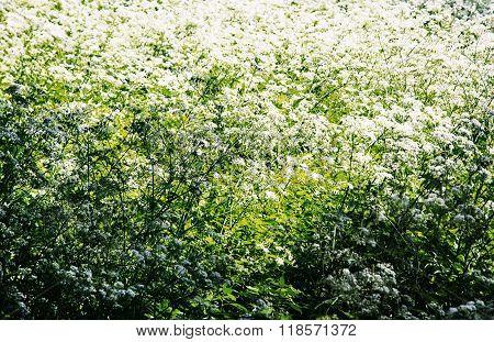 Shepherd's-purse (capsella Bursa-pastoris) In The Meadow