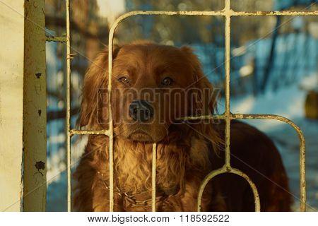 Brown guard dog