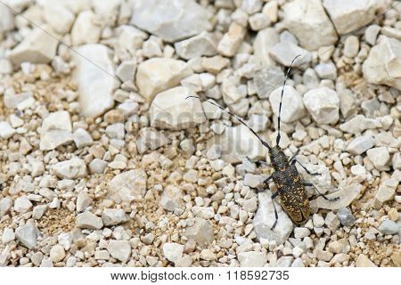Long horn beetle with dark brown wings and yellow spots walking on pebble