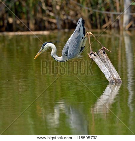 grey heron fishing in natural habitat (ardea cinerea)