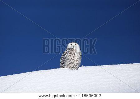 Snowy Owl On Snow