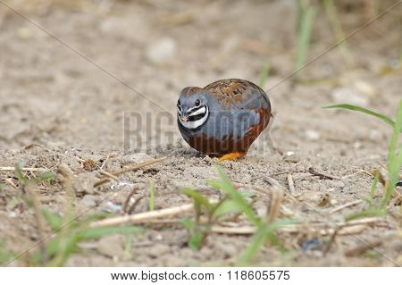 King Quail Blue-breasted Quail Coturnix Chinensis Male Eating