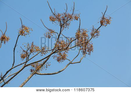 Neem tree with many fruit on branches