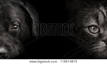 Dark Muzzle Labrador Dog And Cat Scottish Closeup. Front View