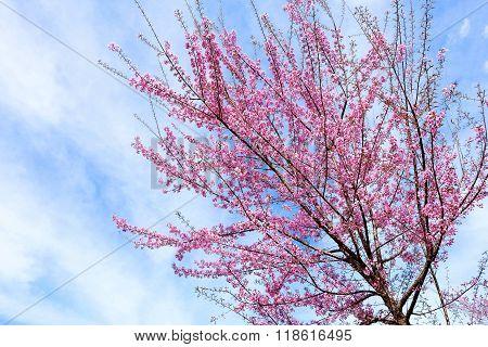 Wild Himalayan Cherry in Thailand