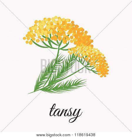 Yellow tansy