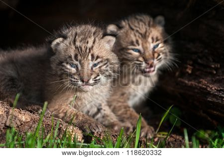 Baby Bobcat Kit (lynx Rufus) Stares Out