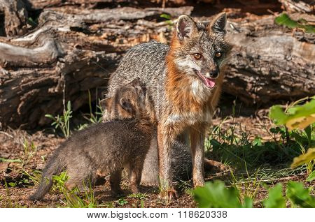 Grey Fox Kit (urocyon Cinereoargenteus) Looks Up Side Of Mother