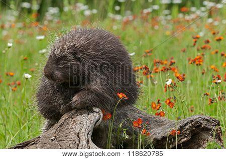 Porcupine (erethizon Dorsatum) Looks Left