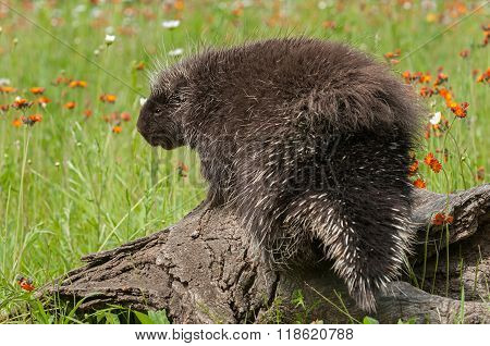 Porcupine (erethizon Dorsatum) With Back To Viewer