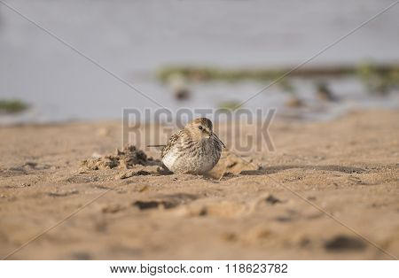 Dunlin, Calidris Alpina, Sitting In The Sand
