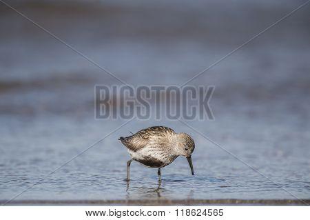 Dunlin, Calidris Alpina, Standing In The Sea