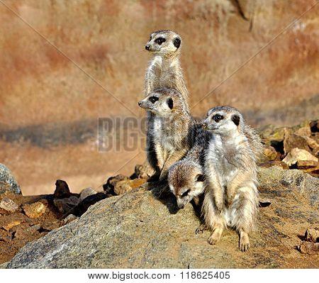 Animals - Meerkat