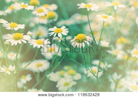 Daisy flower - wild chamomile lit by sunlight