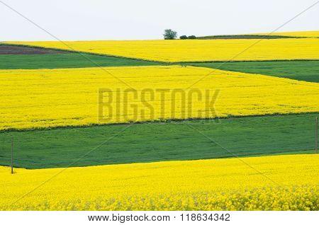 Fields with rape.