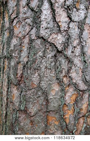 Pine tree bark texture. Natural textured background.