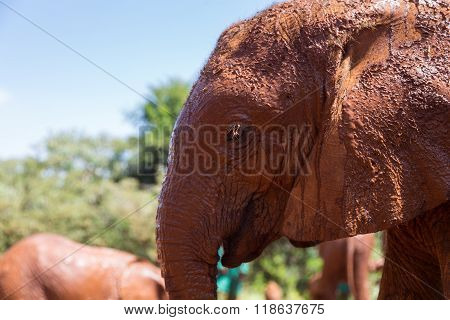 A young elephant close up in profile. Nairobi Kenya.