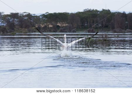 A Great White Pelican Landing