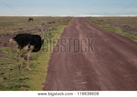 A Male Ostrich Crossing The Road