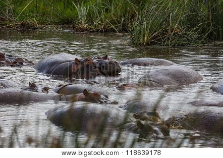 A Family Of Hippos Relaxing