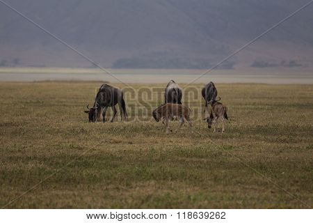 A Small Family Of Wildebeests Grazing