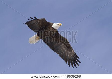 Soaring, adult bald eagle