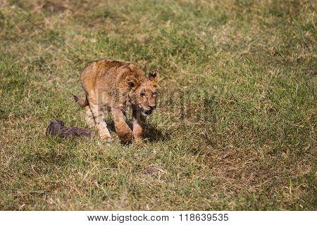 A Lion Kitten Walking