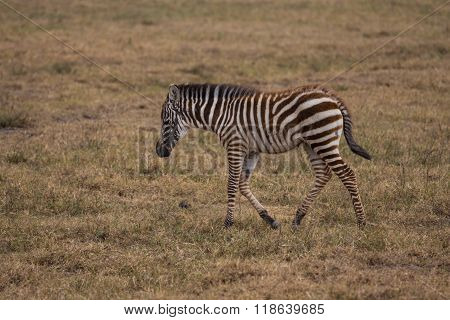 A Zebra Baby Taking A Walk