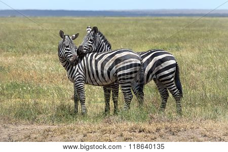A Zebra Couple In Love