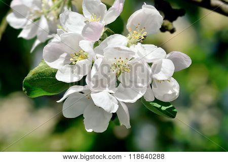 Apple Flowers Closeup