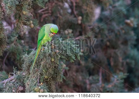 Rose-ringed Parakeet, Psittacula Krameri, Beautiful Green Parrot In The Nature