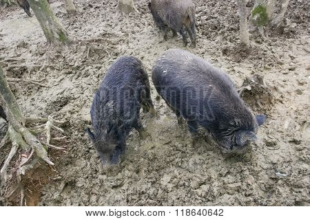 Wild Hogs In Sludge