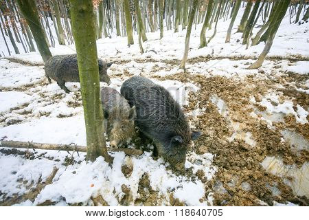 Three Wild Hogs In Mud