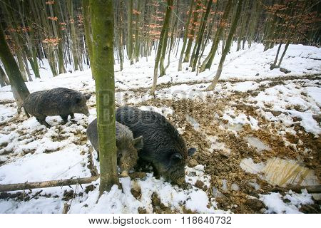 Three Wild Hogs