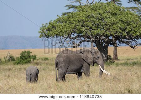 A Female Elephant Projecting Its Kid