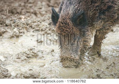 Wild Boar Digging Mud