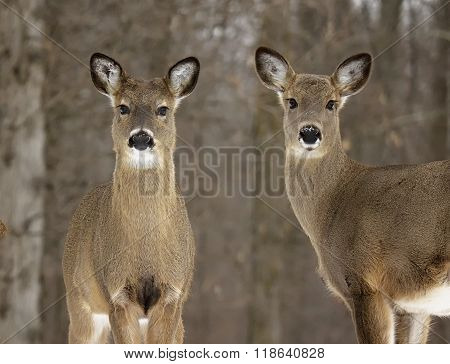 Yearling white-tail deer