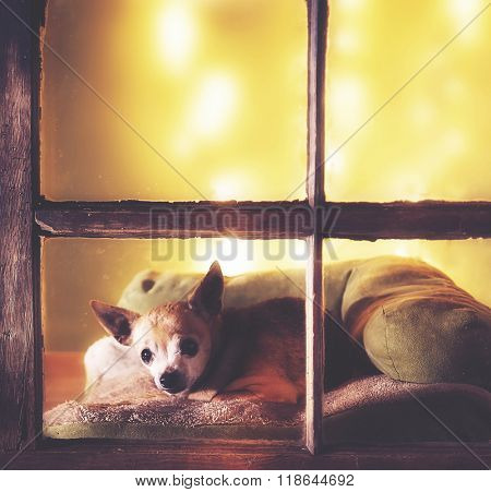 a cute chihuahua looking out a dirty weathered old window in a christmas setting