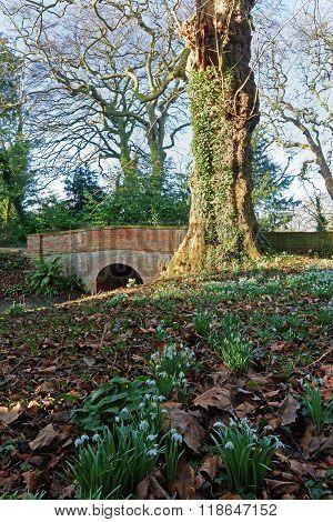 Snowdrops And Bridge