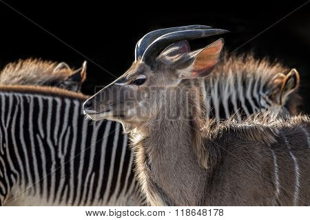 A Kudu with a zebra in the background