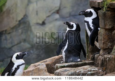 Three Penguins in a row with a rocky background