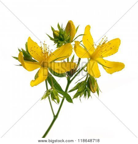 Fresh medicinal plant St. John's Wort branch closeup with yellow flowers and buds isolated on white background