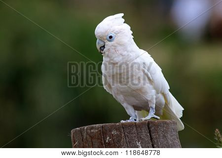 A cockatoo on a tree with a green background