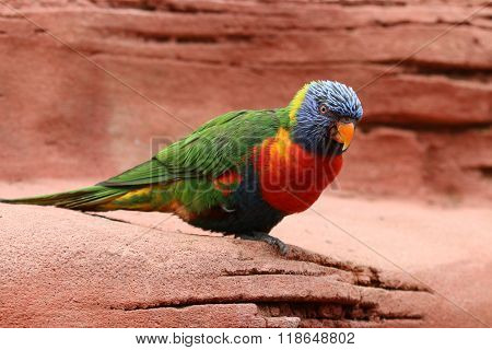 A Coconut lorikeet with a rocky background