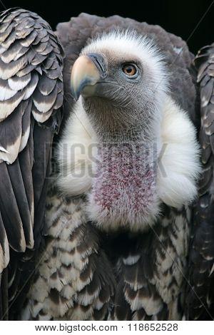 Ruppells Vulture