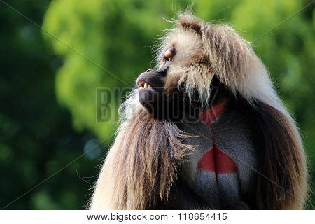 Gelada Male Monkey